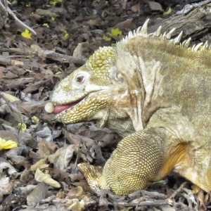 Land Iguana Eating a Poison Apple