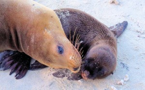 Sea Lion Pup and Mother